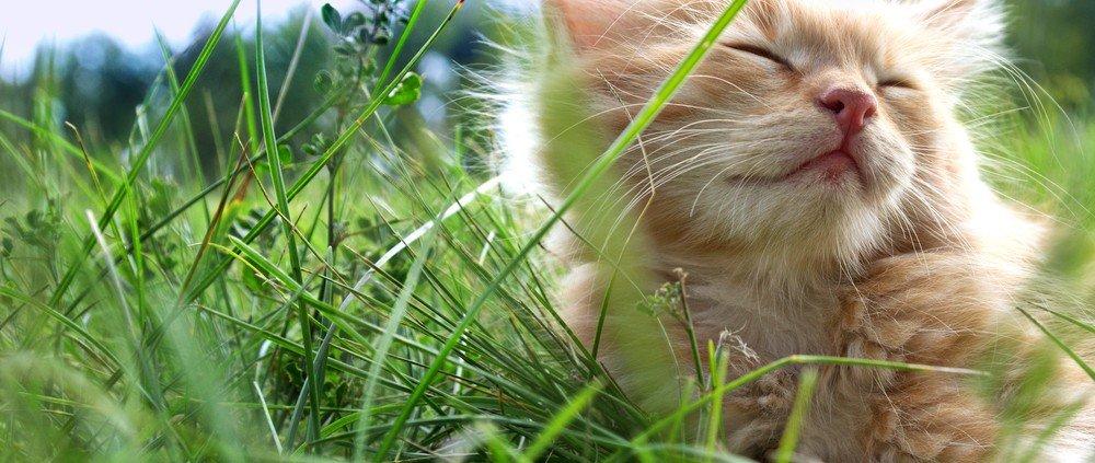 Catnip de werking ervan op katten: kat in gras