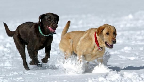 dogs snow running