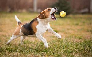 Weekendje weg met hond: beagle gets bal (bouncer)