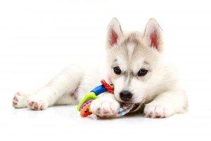 Weetjes over honden: met speeltje aan het spelen