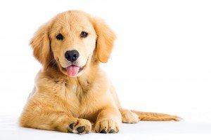 Weetjes over honden: Labrador liggend