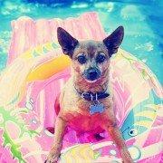 Hoe verzorg je een hond: dog in swimmingpool, dog swimming