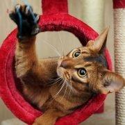 Je kat leren apporteren: spelende kat in rode krabpaal