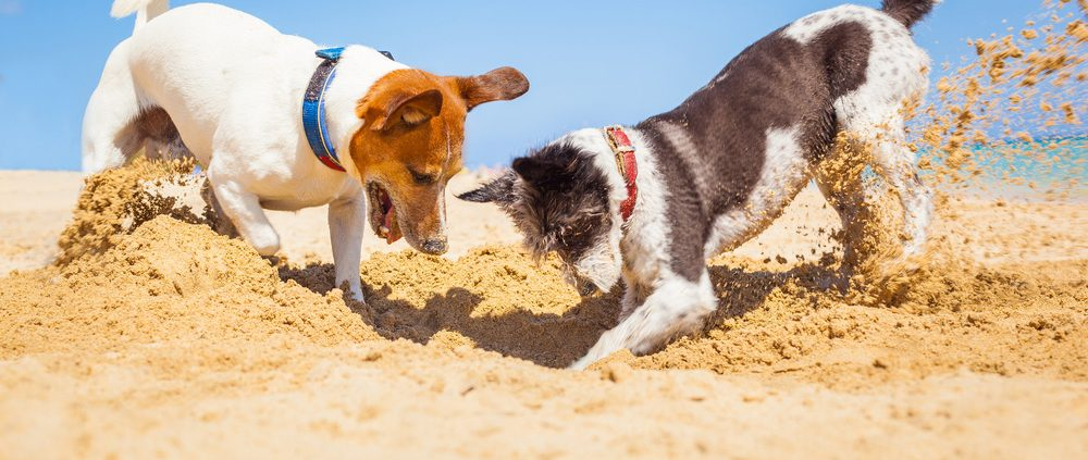 Hondenspelletjes in allerlei vormen: two dogs digging on beach
