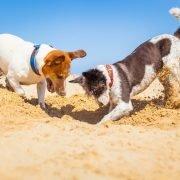 Hondenspelletjes in allerlei vormen: two dogs digging on beach