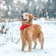 Wandelen met de hond in de winter: hond in sneeuw