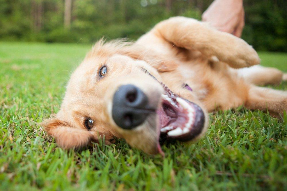 Hoeveel tanden heeft een hond eigenlijk beeztees for Hoeveel traptreden heeft een trap